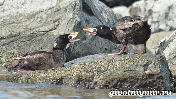 Турпан-птица-Образ-жизни-и-среда-обитания-турпана-7