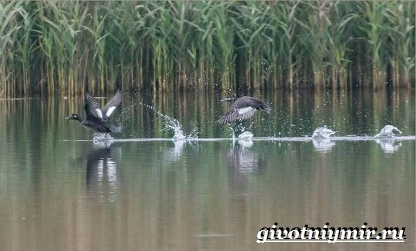 Турпан-птица-Образ-жизни-и-среда-обитания-турпана-9