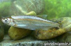 Уклейка рыба. Образ жизни и среда обитания рыбы уклейки