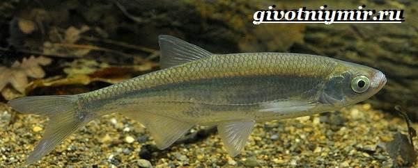 Уклейка-рыба-Образ-жизни-и-среда-обитания-рыбы-уклейки-3