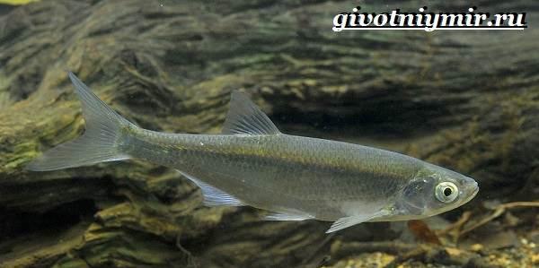 Уклейка-рыба-Образ-жизни-и-среда-обитания-рыбы-уклейки-4