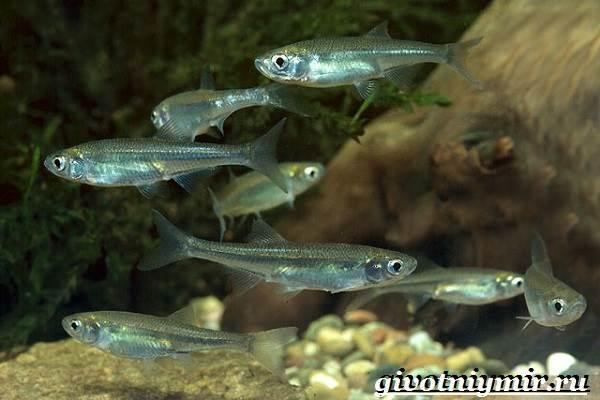 Уклейка-рыба-Образ-жизни-и-среда-обитания-рыбы-уклейки-6