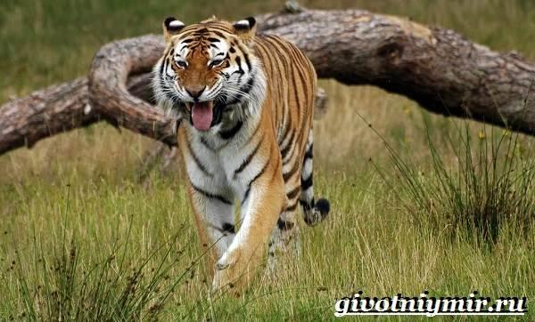 Уссурийский-тигр-Образ-жизни-и-среда-обитания-уссурийского-тигра-2