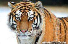 Уссурийский тигр. Образ жизни и среда обитания уссурийского тигра