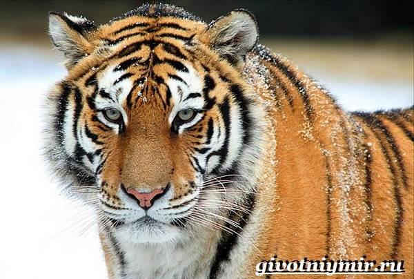 Уссурийский-тигр-Образ-жизни-и-среда-обитания-уссурийского-тигра-4