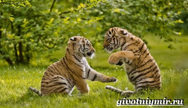 Уссурийский-тигр-Образ-жизни-и-среда-обитания-уссурийского-тигра-7