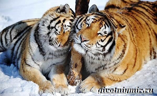 Уссурийский-тигр-Образ-жизни-и-среда-обитания-уссурийского-тигра-8