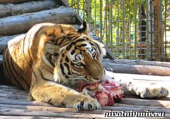 Уссурийский-тигр-Образ-жизни-и-среда-обитания-уссурийского-тигра-9