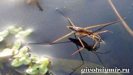 Водомерка насекомое. Образ жизни и среда обитания водомерки