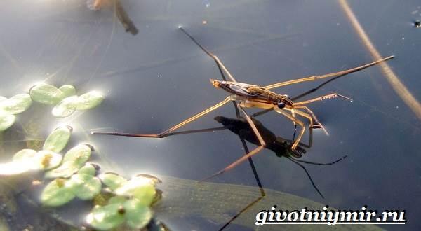 Водомерка-насекомое-Образ-жизни-и-среда-обитания-водомерки-1