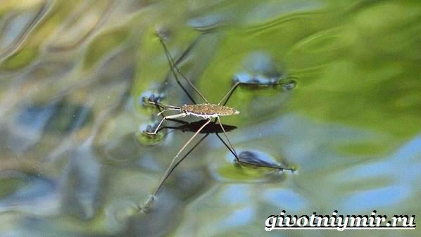 Водомерка-насекомое-Образ-жизни-и-среда-обитания-водомерки-2