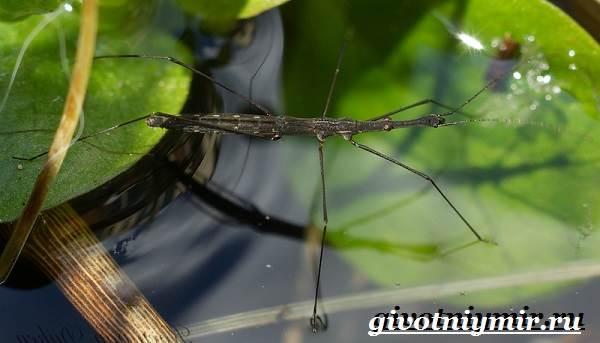 Водомерка-насекомое-Образ-жизни-и-среда-обитания-водомерки-4