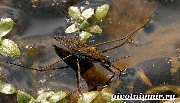 Водомерка-насекомое-Образ-жизни-и-среда-обитания-водомерки-6