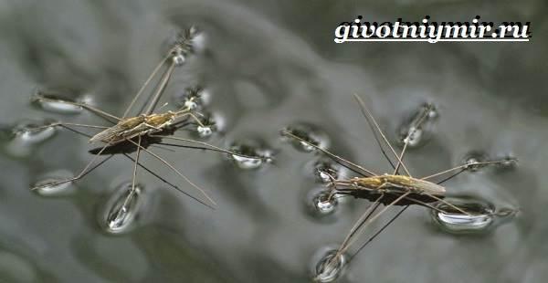 Водомерка-насекомое-Образ-жизни-и-среда-обитания-водомерки-7