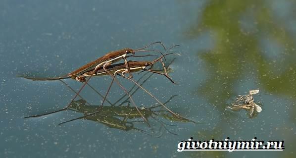 Водомерка-насекомое-Образ-жизни-и-среда-обитания-водомерки-8