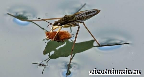 Водомерка-насекомое-Образ-жизни-и-среда-обитания-водомерки-9