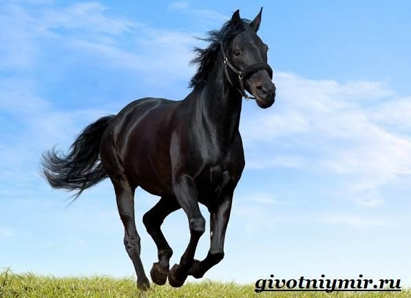 Вороная-лошадь-Описание-виды-уход-и-цена-вороной-лошади-1