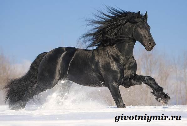 Вороная-лошадь-Описание-виды-уход-и-цена-вороной-лошади-7