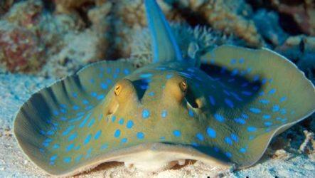 Хвостокол рыба. Образ жизни и среда обитания хвостокола