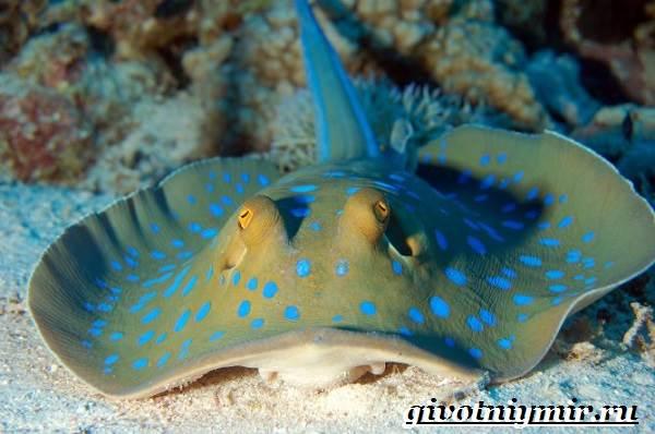 Хвостокол-рыба-Образ-жизни-и-среда-обитания-хвостокола-1