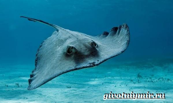 Хвостокол-рыба-Образ-жизни-и-среда-обитания-хвостокола-3