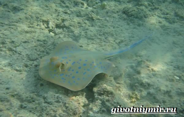 Хвостокол-рыба-Образ-жизни-и-среда-обитания-хвостокола-5