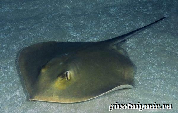 Хвостокол-рыба-Образ-жизни-и-среда-обитания-хвостокола-6