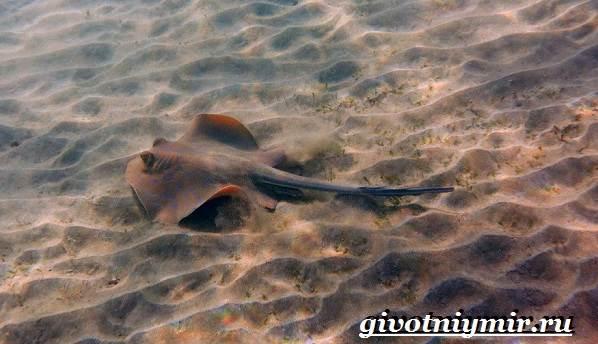 Хвостокол-рыба-Образ-жизни-и-среда-обитания-хвостокола-8