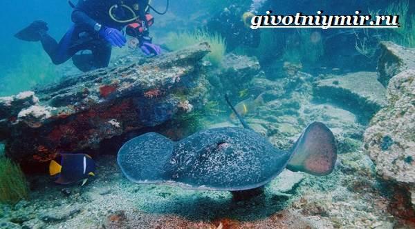 Хвостокол-рыба-Образ-жизни-и-среда-обитания-хвостокола-9