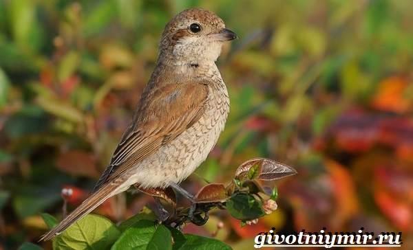 Жулан-птица-Образ-жизни-и-среда-обитания-жулана-1