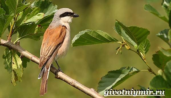 Жулан-птица-Образ-жизни-и-среда-обитания-жулана-2