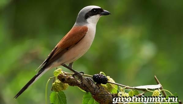 Жулан-птица-Образ-жизни-и-среда-обитания-жулана-3