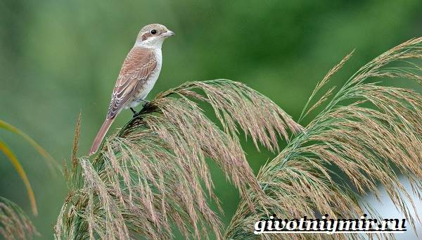 Жулан-птица-Образ-жизни-и-среда-обитания-жулана-4