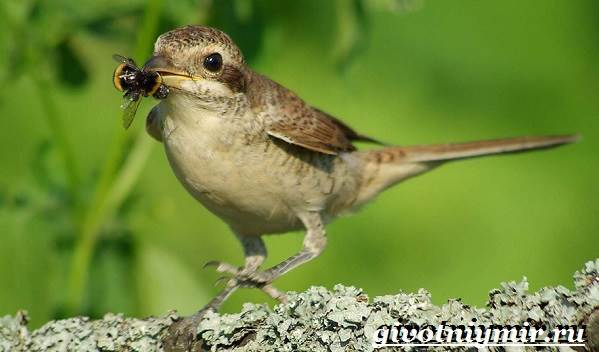 Жулан-птица-Образ-жизни-и-среда-обитания-жулана-5