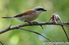 Жулан птица. Образ жизни и среда обитания жулана