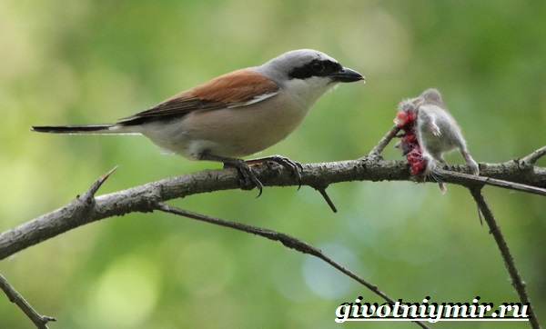 Жулан-птица-Образ-жизни-и-среда-обитания-жулана-6