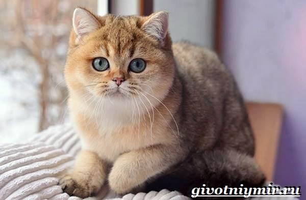 Золотая-шиншилла-кошка-Описание-уход-и-цена-породы-золотая-шиншилла-1