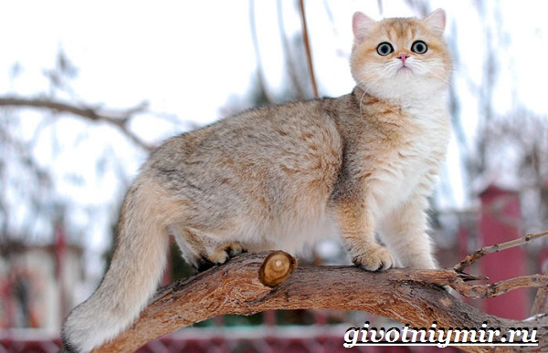 Золотая-шиншилла-кошка-Описание-уход-и-цена-породы-золотая-шиншилла-10