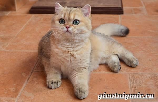 Золотая-шиншилла-кошка-Описание-уход-и-цена-породы-золотая-шиншилла-2