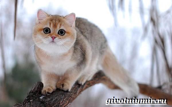 Золотая-шиншилла-кошка-Описание-уход-и-цена-породы-золотая-шиншилла-3