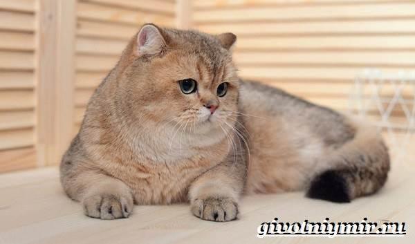 Золотая-шиншилла-кошка-Описание-уход-и-цена-породы-золотая-шиншилла-5