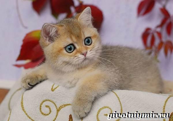 Золотая-шиншилла-кошка-Описание-уход-и-цена-породы-золотая-шиншилла-6