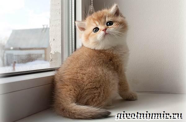 Золотая-шиншилла-кошка-Описание-уход-и-цена-породы-золотая-шиншилла-7