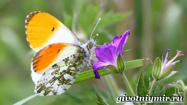 Зорька-бабочка-Образ-жизни-и-среда-обитания-бабочки-зорьки-1