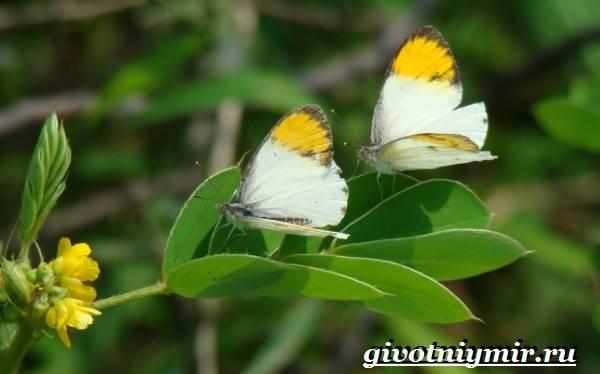 Зорька-бабочка-Образ-жизни-и-среда-обитания-бабочки-зорьки-10