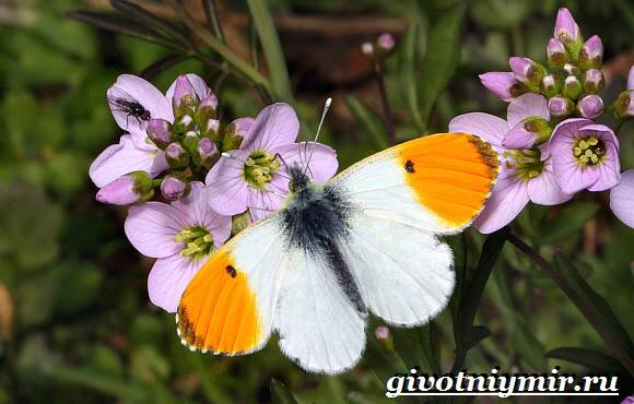 Зорька-бабочка-Образ-жизни-и-среда-обитания-бабочки-зорьки-2
