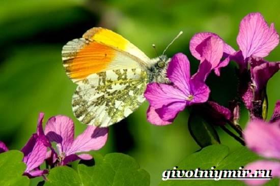 Зорька-бабочка-Образ-жизни-и-среда-обитания-бабочки-зорьки-4