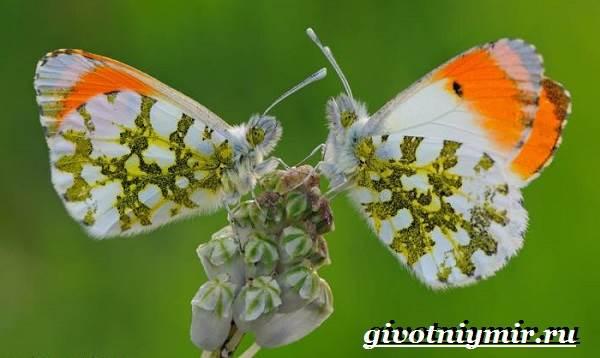Зорька-бабочка-Образ-жизни-и-среда-обитания-бабочки-зорьки-5