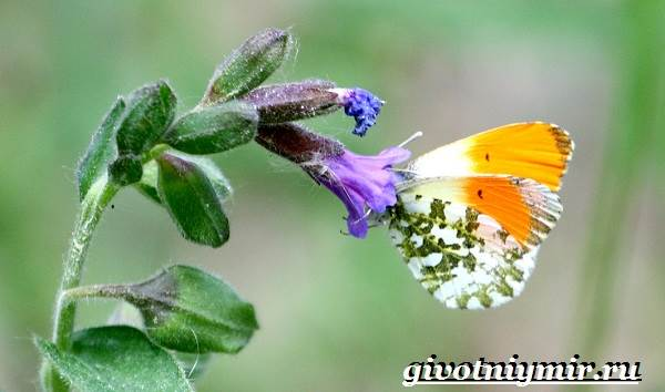 Зорька-бабочка-Образ-жизни-и-среда-обитания-бабочки-зорьки-6