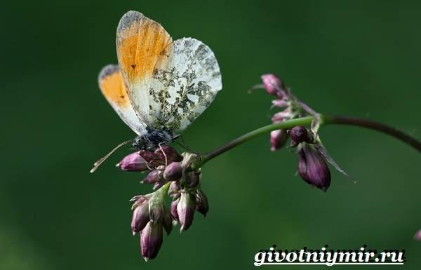 Зорька-бабочка-Образ-жизни-и-среда-обитания-бабочки-зорьки-7